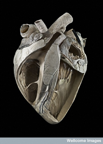A0001382 Adult cow heart