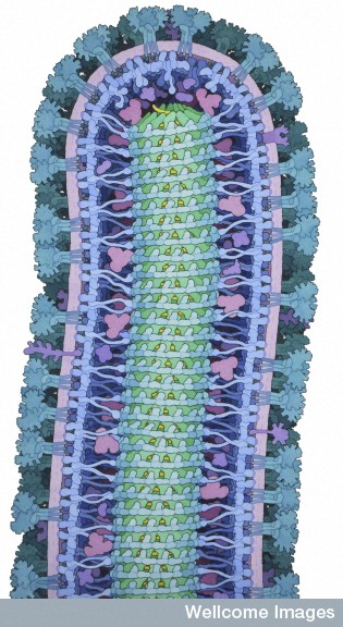 B0010026 Cross section through an ebola virus particle, illustration